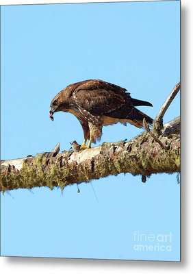 Red-tailed Hawk With Prey Metal Print by Betty LaRue