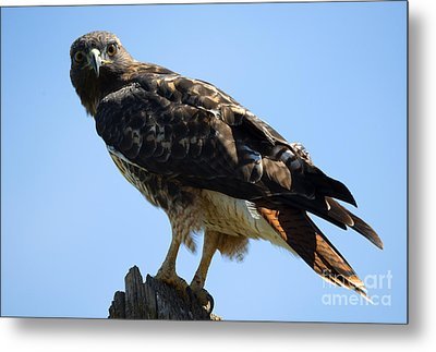 Red-tailed Stare Metal Print by Mike Dawson