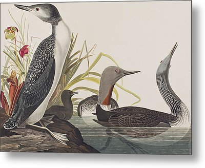 Red-throated Diver Metal Print by John James Audubon