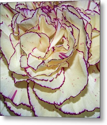 Red Tipped Carnation Metal Print