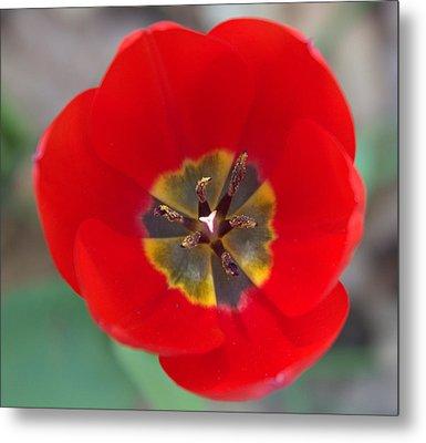 Red Tulip In 3d Metal Print by Liz Allyn