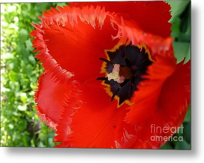Metal Print featuring the photograph Red Tulip by Jean Bernard Roussilhe