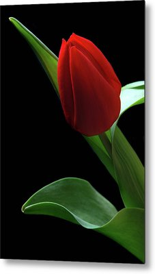 Red Tulip. Metal Print by Terence Davis