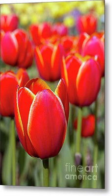 Red And Yellow Tulips I Metal Print