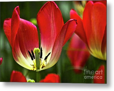 Red Tulips Petals Metal Print by Heiko Koehrer-Wagner