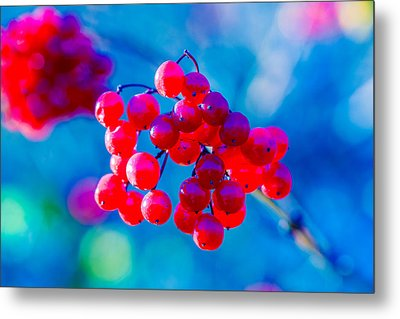 Metal Print featuring the photograph Red Viburnum Berries by Alexander Senin