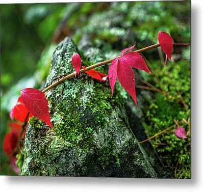 Metal Print featuring the photograph Red Vine by Bill Pevlor