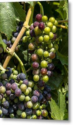 Red Wine Grape Colors In The Sun Metal Print