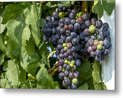 Red Wine Grapes On The Vine Metal Print