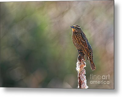 Red-winged Blackbird 2 Metal Print by Sharon Talson