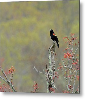 Red Winged Blackbird 2017 Square Metal Print by Bill Wakeley