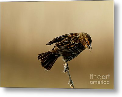 Red Winged Blackbird Metal Print by Beve Brown-Clark Photography