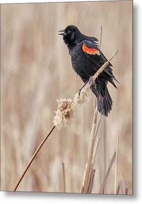 Male Red-winged Blackbird In A Minnesota Marsh Metal Print by Jim Hughes