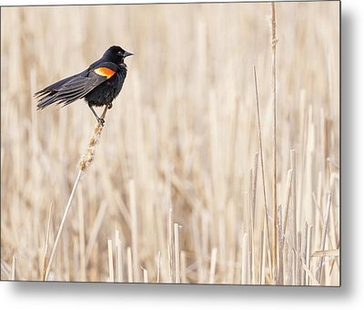 Red-winged Blackbird In A Minnesota Wetland Metal Print