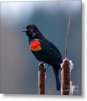 Metal Print featuring the photograph Red-winged Blackbird Singing by Sharon Talson