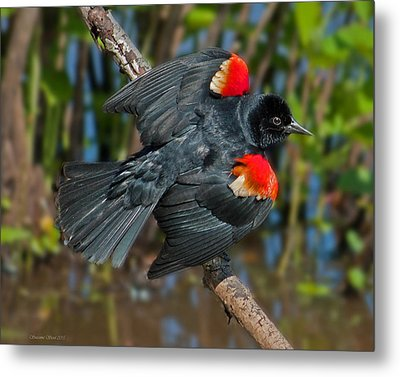 Red-winged Blackbird Metal Print by Suzanne Stout
