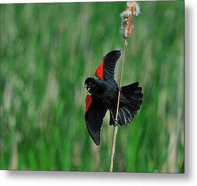 Red-winged Blackbird Metal Print by Tony Beck