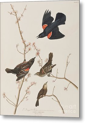 Red Winged Starling Or Marsh Blackbird Metal Print