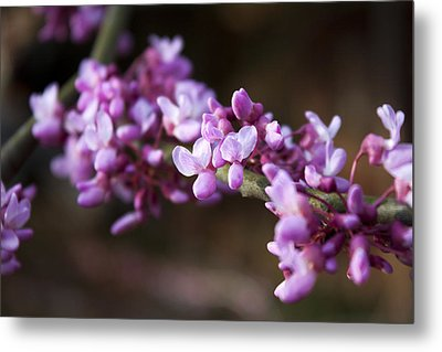 Metal Print featuring the photograph Redbuds In March by Jeff Severson