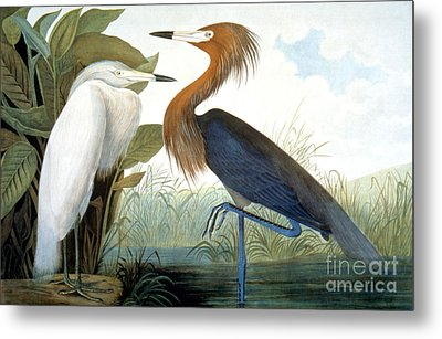 Reddish Egret, Metal Print by Granger