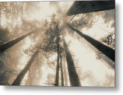 Redwood Forest, Northern California, Usa Metal Print by Mel Curtis