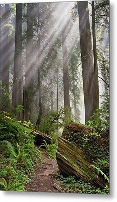 Redwood Light Metal Print by Greg Nyquist