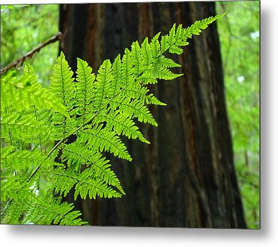 Redwood Tree Forest Ferns Art Prints Giclee Baslee Troutman Metal Print by Baslee Troutman