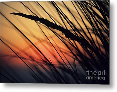 Reeds And Sunset Metal Print by Brent Black - Printscapes