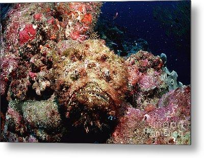 Reef Stonefish Metal Print
