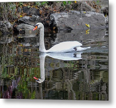 Reflecting Mute Swan Metal Print