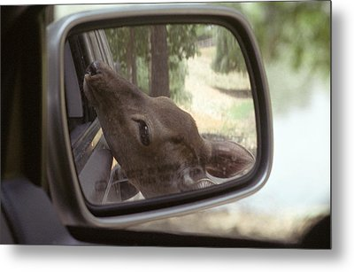 Metal Print featuring the photograph Reflections Of A Deer by Wanda Brandon