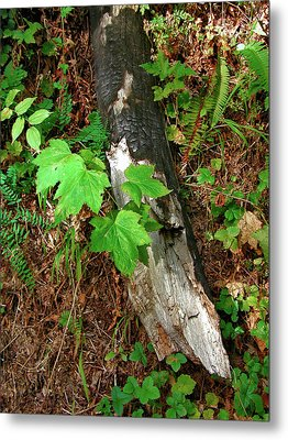 Metal Print featuring the photograph Regrowth by Arthur Fix