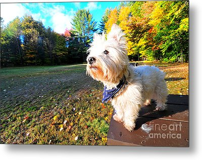 Reminiscing Westie Metal Print by Catherine Reusch Daley