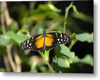 Resting Butterfly Metal Print by Sven Brogren