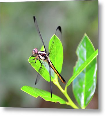 Resting Dragonfly Metal Print by David Lee Thompson