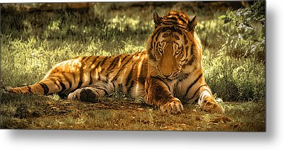 Metal Print featuring the photograph Resting Tiger by Chris Boulton