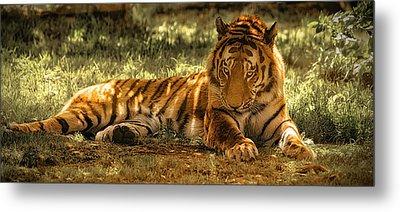 Resting Tiger Metal Print by Chris Boulton