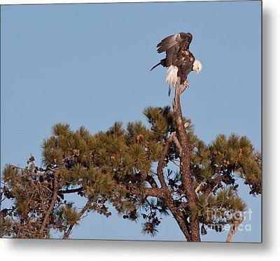 Metal Print featuring the photograph Restless Eagle by David Bishop