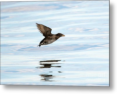 Rhinoceros Auklet Reflection Metal Print by Mike Dawson