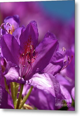 Rhododendron  Metal Print by Baggieoldboy