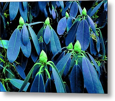 Rhododendron Buds In Spring Metal Print