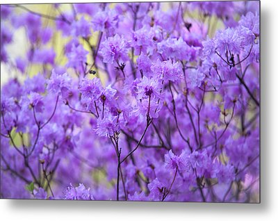 Metal Print featuring the photograph Rhododendron In Bloom. Spring Watercolors by Jenny Rainbow
