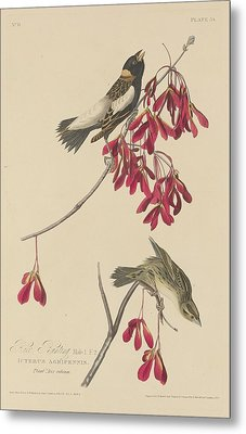 Rice Bunting Metal Print by Rob Dreyer
