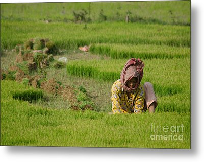Rice Field Worker Harvests Rice In Green Field In Southeast Asia Metal Print by Jason Rosette