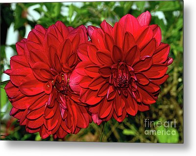 Metal Print featuring the photograph Rich Red Dahlias By Kaye Menner by Kaye Menner