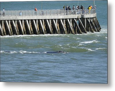 Metal Print featuring the photograph Right Whale At Sebastian Inlet by Bradford Martin