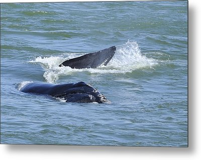 Metal Print featuring the photograph Right Whale Head And Tail by Bradford Martin