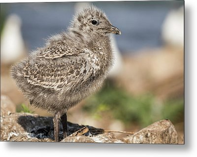 Metal Print featuring the photograph Ring-billed Gull Chick 2016-1 by Thomas Young