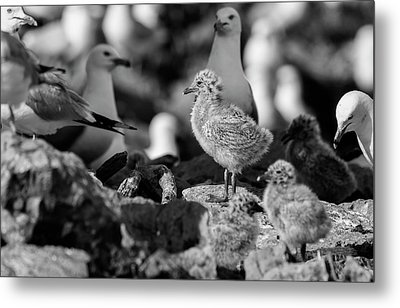 Metal Print featuring the photograph Ring-billed Gulls 2016-1 by Thomas Young