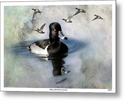 Ring-necked Duck Comrades Metal Print by John Williams